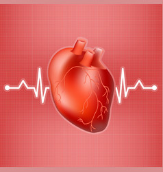 human heart and heart beat on ekg isolated on a vector image