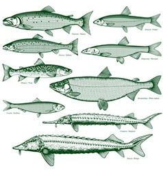 Fish freshwater 2 vector image