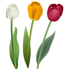 white red and yellow tulip flower vector image