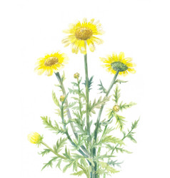 Yellow daisies watercolor vector
