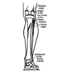 Back view of the muscles of the calf vintage vector