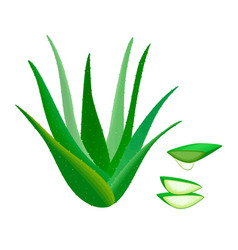 aloe vera whole and slices juice drop herbal vector image vector image