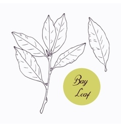 Hand drawn bay leaf and branch with leves isolated vector