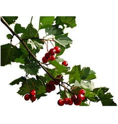 Red viburnum berries on a branch vector