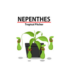 Green nepenthes plant in pot isolated on white vector
