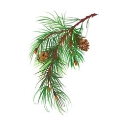 Watercolor coniferous branch with pine cones vector