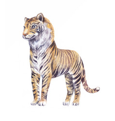Tiger watercolor isolated on white vector