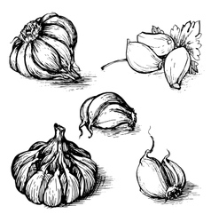 Hand drawn set of garlic with parsley vector