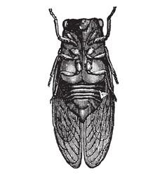 Male cicada vintage vector