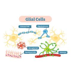 Nervous system glial cells schematic diagram vector