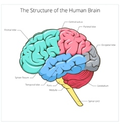 Structure of human brain schematic vector image