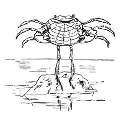 A crab dancing on a rock vintage vector