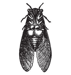 Musical apparatus of the male cicada vintage vector