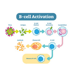 b-cell activation diagram vector image