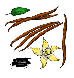 Vanilla flower and bean stick drawing set vector