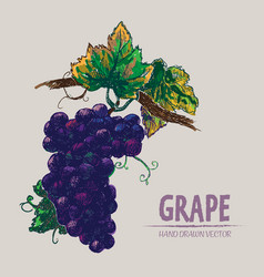 Digital detailed color grape hand drawn vector
