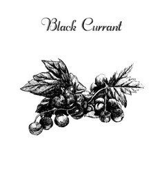 Ink hand drawn vintage currant vector