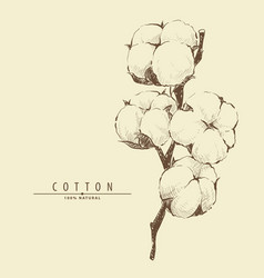cotton plant flower vector image