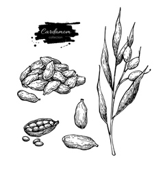 Cardamom hand drawn set with vector