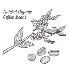 Coffee branch plant with leaf berry bean fruit vector image
