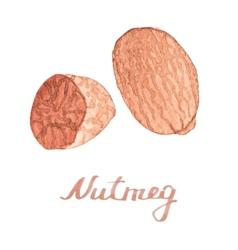 Watercolor nutmeg on the white background vector