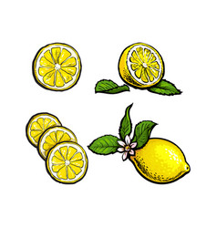 sketch lemons with leaves flower and slices vector image