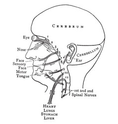 Distribution of the cranial nerves vintage vector
