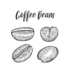 Coffee bean seed natural organic caffeine fruit vector
