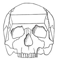 cranium vintage vector image