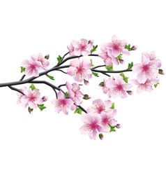 Cherry blossom japanese tree sakura vector
