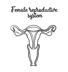 Female reproductive system vector