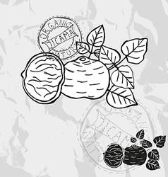 hand drawn jicama vector image vector image