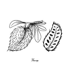 Hand drawn of ripe soursop fruit on white backgrou vector