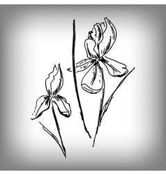 Iris flower by hand vector