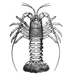 Crawfish vintage vector