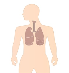 Human lungs vector image