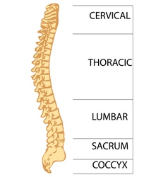 spinal column vector image