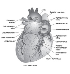 Posterior View of the Human Heart vector image vector image