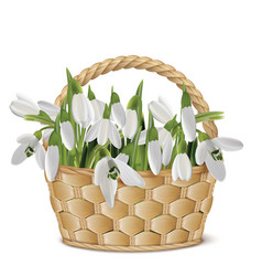 Bouquet of snowdrops in a basket vector