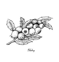 Hand drawn of ripe blueberries on white background vector