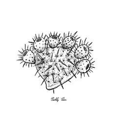 Hand drawn of fresh ripe prickly pears vector