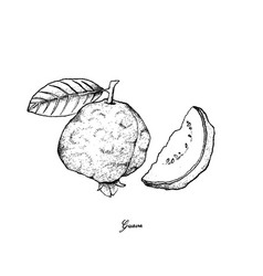 Hand drawn of fresh guava on white background vector