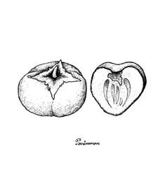 Hand drawn of kaki or persimmon on white backgrou vector