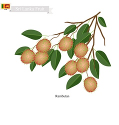 Fresh rambutan a famous fruit in sri lanka vector
