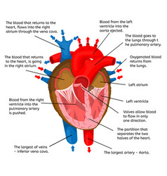 heart of body in terms of animation structure vector image