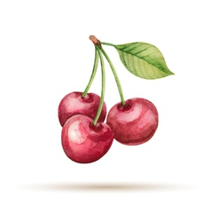 Cherry hand drawn watercolor on a white background vector