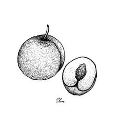Hand drawn of fresh plum on white background vector