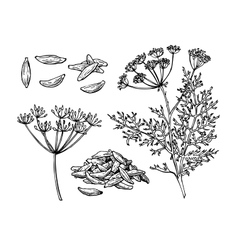 Caraway hand drawn set vector image