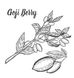 Goji berry superfood Health nutrient food vector image