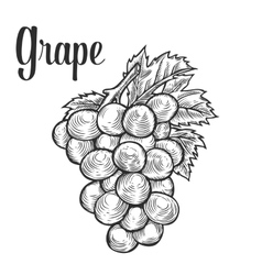 Grape with leaf fruit berry sweet wine sangria vector